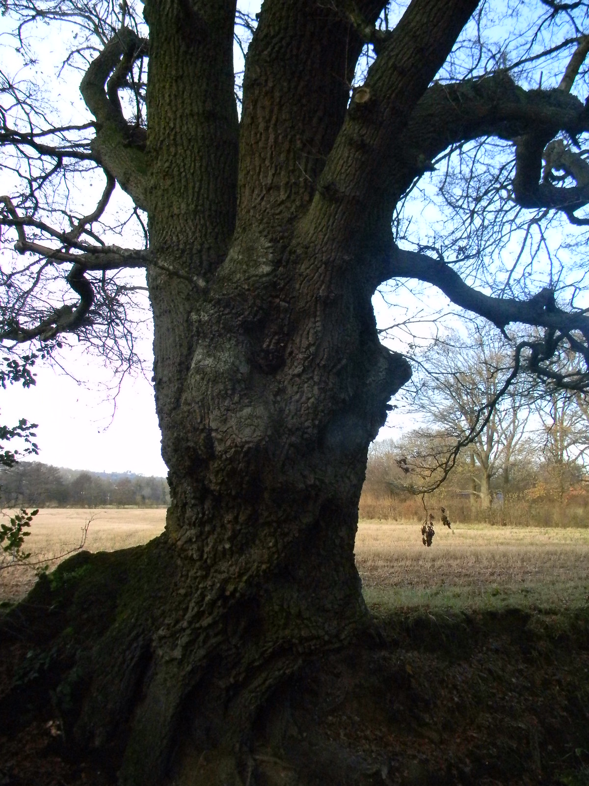 gnarled tree Dorking to Reigate