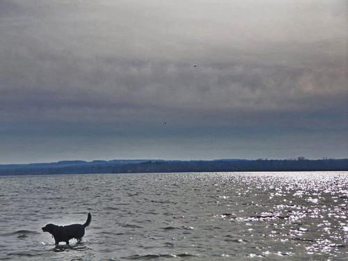 dog sun lake ny water clouds puppy labrador blacklab upstatenewyork centralnewyork fingerlakes owascolake