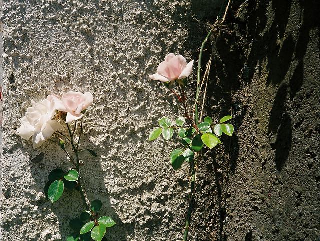 noon_rose