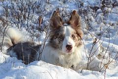 Snow Pup