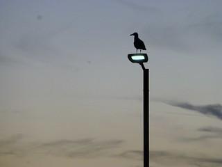 Dusk Herring Gull