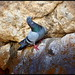 Balance - a Jerusalem Dove in the Western Wall