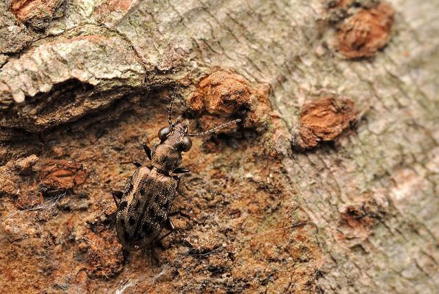 Asaphidion semilucidum