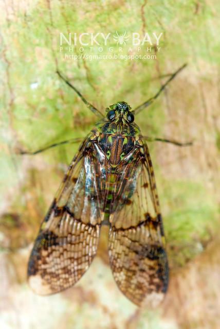 Planthopper (Dichoptera sp.) - DSC_7278