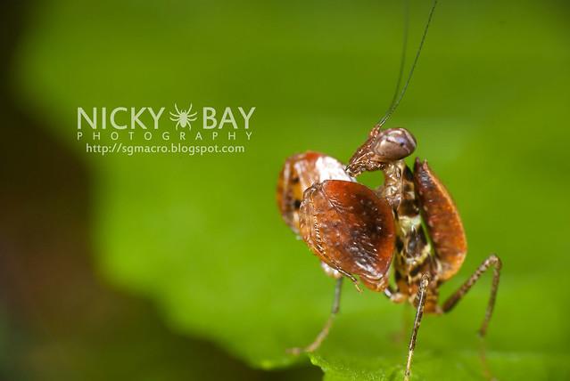 Boxer Mantis (Otomantis sp.?) - DSC_6481