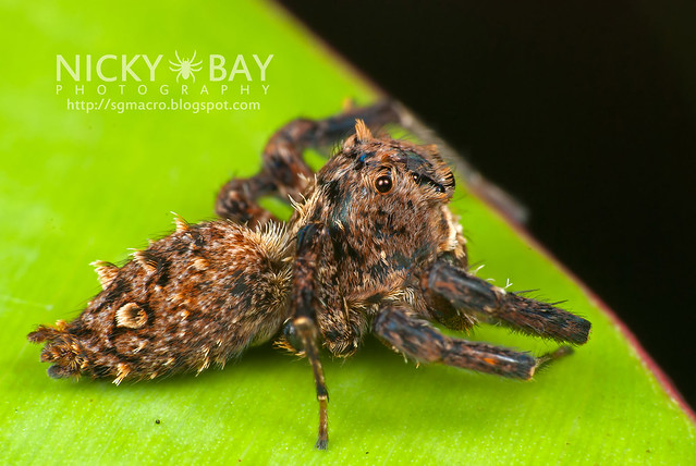 Jumping Spider (Portia sp.) - DSC_5607
