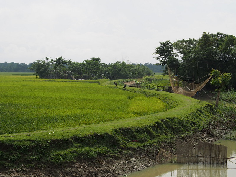 Rice Filed in Bangladesh