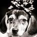Christmas Beagle, Plate 4