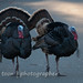 Citrus Heights turkeys