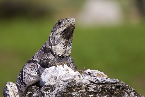 Iguana blending in - Tulum, Mexico