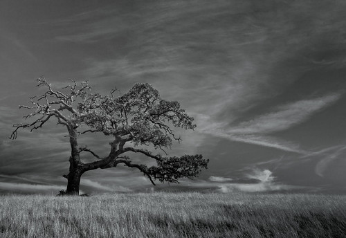 tree blackandwhite landscape efs1022 oaktree oak california jlboyer bw californiaoak
