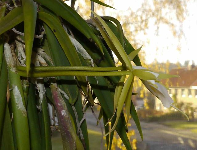 Epidendrum parkinsonianum 8181724616_471bebfb2b_z