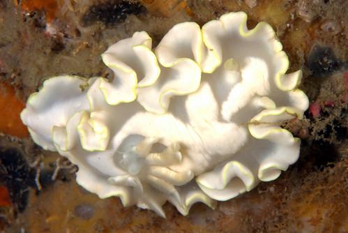 シロタエイロウミウシ