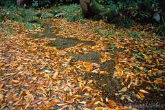 落ち葉の中の小川 / Stream in the leaves