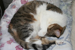animal, tabby cat, polydactyl cat, small to medium-sized cats, sleep, pet, nap, mammal, european shorthair, cat, domestic short-haired cat,