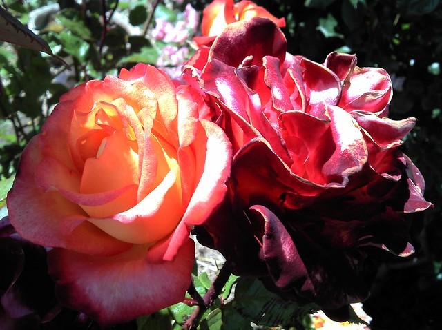 Motorola Defy Roses Macro Photo
