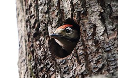 Great Spotted Woodpecker chick, Walker Wood/Midgeley Wood