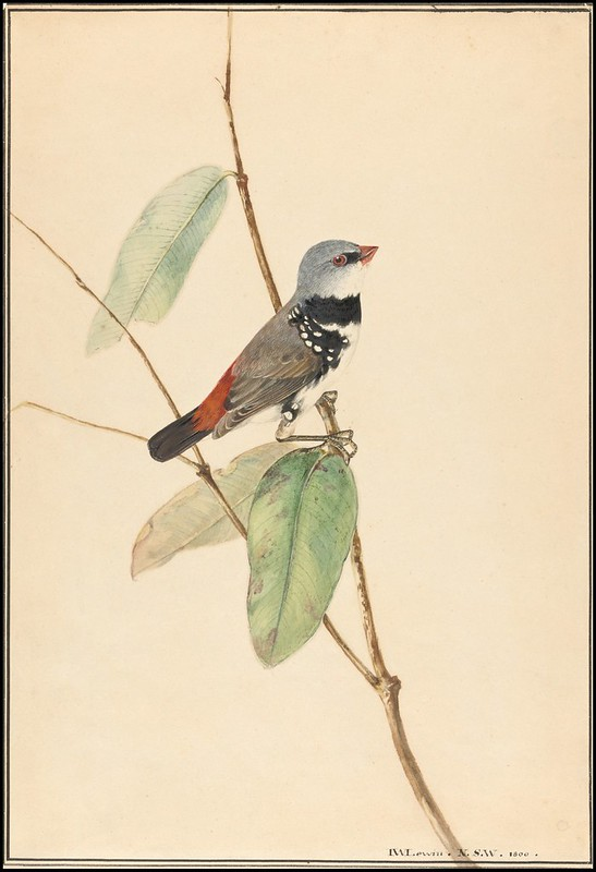 Spotted Side-Finch (Diamond Firetail) - Stagonopleura guttata 1800