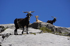 Graceful goats in Picos de Europa, Spain