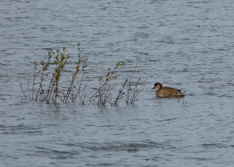 28998 - Red Crested Pochard, RSPB Titchwell