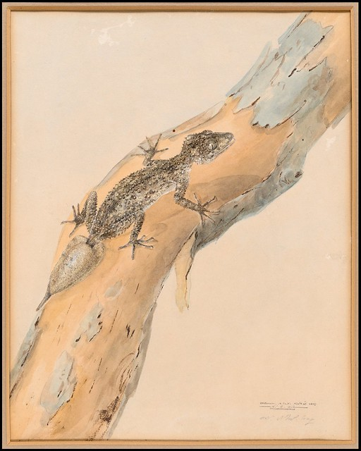 The southern leaf tailed gecko (Phyllurus platurus) 1807
