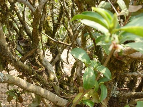 Alubari, Darjeeling's oldest plants