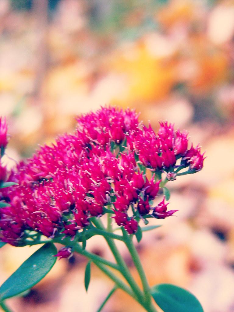 pink sedum in autumn