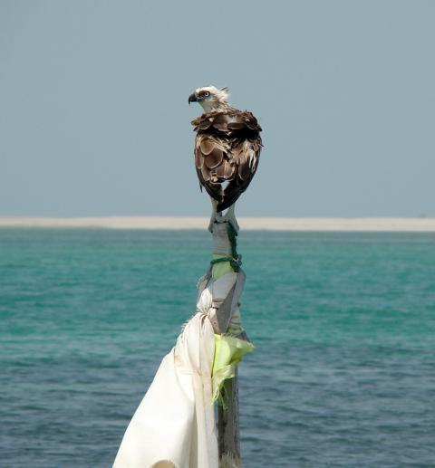 Osprey by Richard BAJOL, Abu Dhabi, UAE
