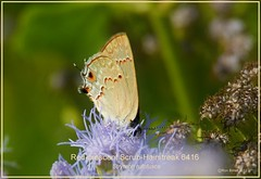 Red-crescent Scrub-Hairstreak NABA Butterfly Center Texas Butterfly photography by Ron Birrell; DSC_6416