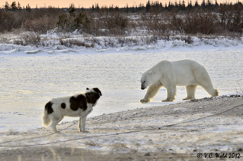 "Canadian Eskimo dog and ""Dancer"" the polar bear"