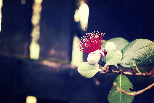 feijoa blossom 1