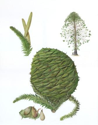 Moira Russell Araucaria bidwillii (Bunya Pine)