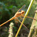 Neurothemis intermedia - Photo (c) gailhampshire, some rights reserved (CC BY)