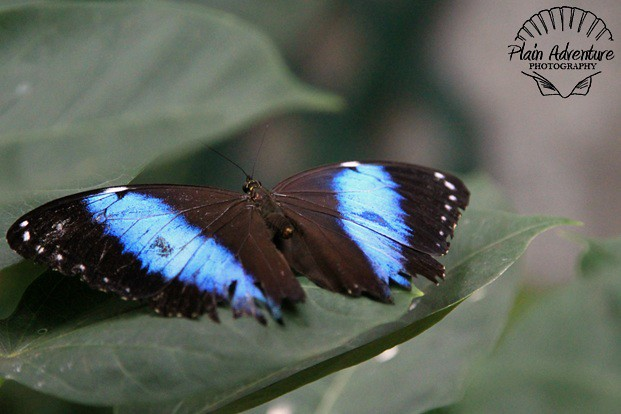 Blue Striped Butterfly