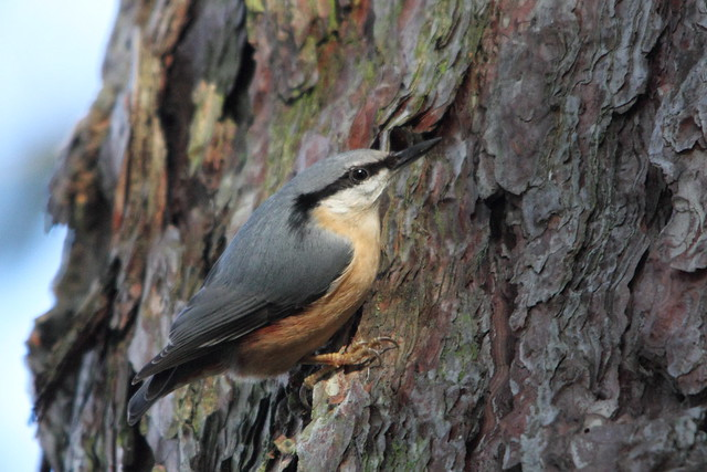 A nice shot of a Nuthatch in Robert's Park