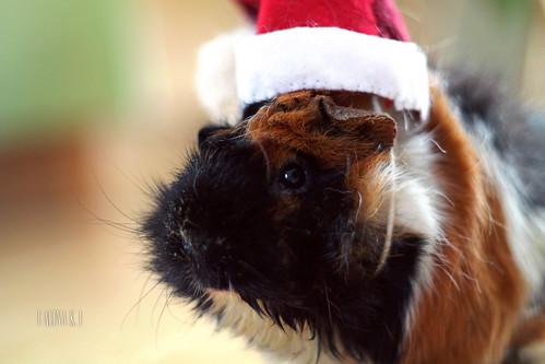 Christmas Guinea Pig by • alina •