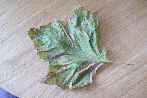 Phyllonorycter platani leaf mines in profusion