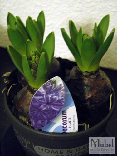 Learning about plants: Hyacinth