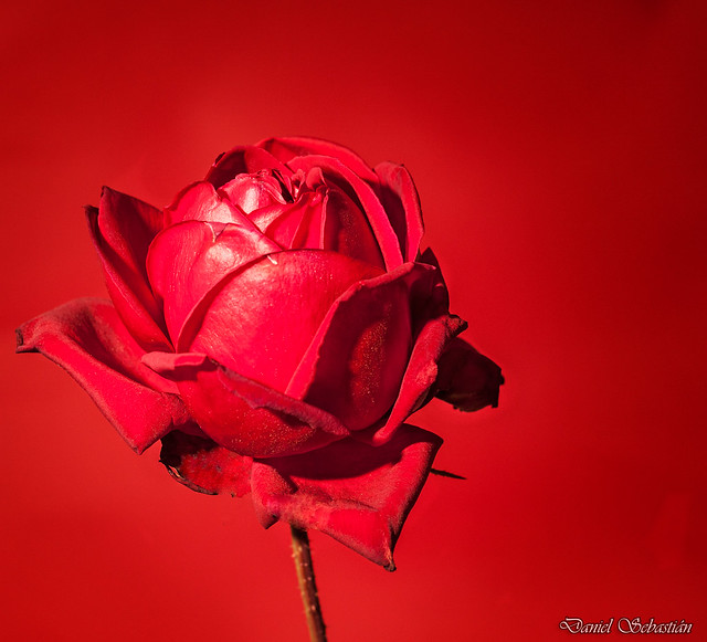 Red Rose/Rosa Roja