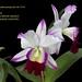 Lc. Robert Strait - melhor Cattleya híbrida standard - cultivo Clari Schildt