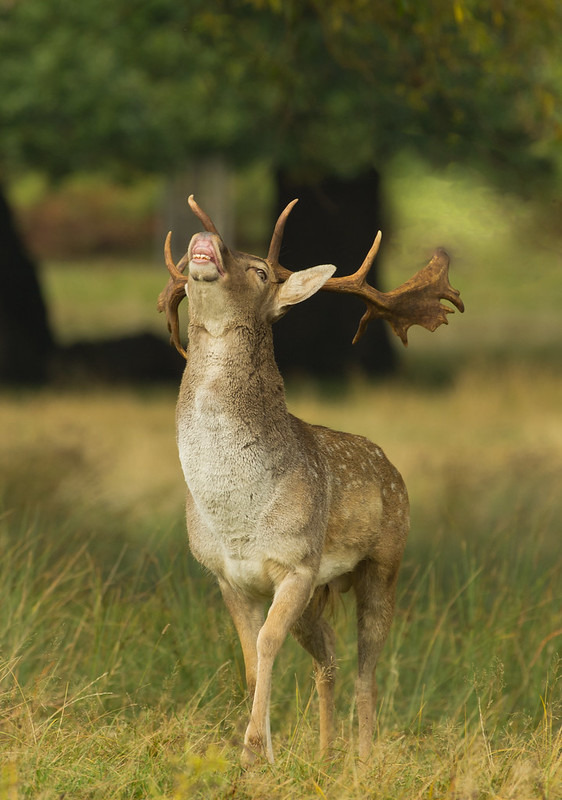 fallow deer buck calling edited