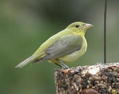 nightingale(0.0), robin(0.0), ortolan bunting(0.0), european robin(0.0), finch(0.0), brambling(0.0), animal(1.0), sparrow(1.0), fauna(1.0), emberizidae(1.0), beak(1.0), bird(1.0), wildlife(1.0),