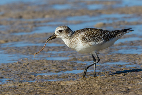 The Early Plover