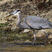 Great Blue Heron_2261