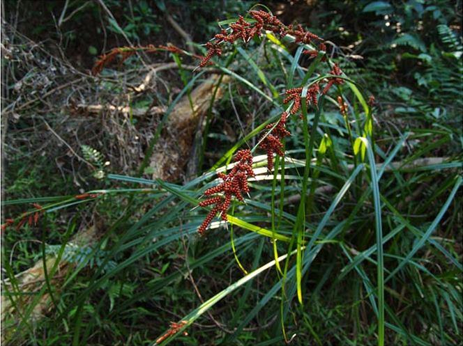 紅果薹是薹類家族中體型較高大者;圖片提供:觀察家生態顧問公司