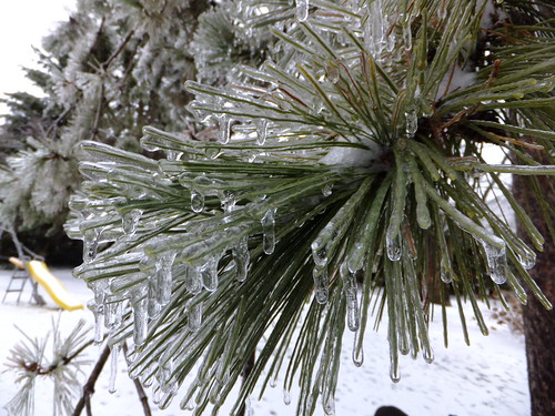 Rigaud, QC - Pine Tree in Ice