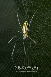 Orb Web Spider (Nephilidae) - DSC_1449