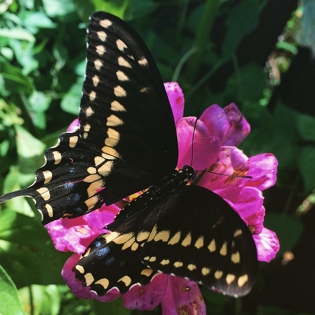 Black Swallowtail Butterfly #butterfly #butterflies #blackswallowtail #blackswallowtailbutterfly #gardens #patiogarden #zinnias #zinnia