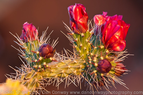 Cholla Blooms-2 by Dan W Conway