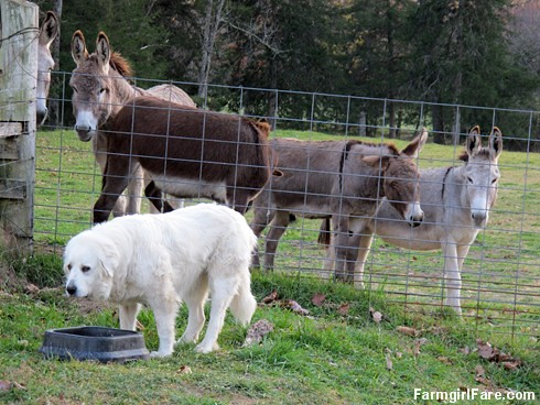 Dinnertime for Daisy, with donkeys (6) - FarmgirlFare.com